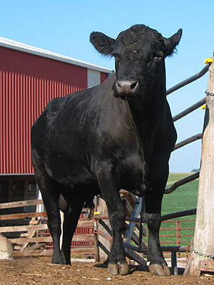 One of our bulls, August 2006