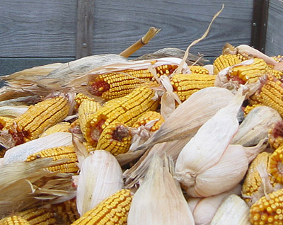 Freshly-picked open-pollinated corn fills a wagon, November 2004.