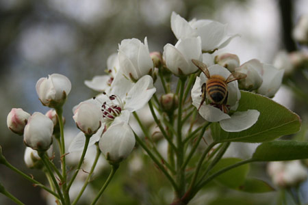 Susanna's bees enjoy making honey from these ornamental pear blossoms
