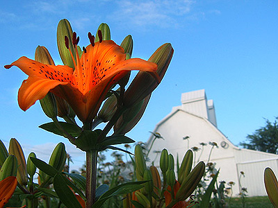A tiger lily in front of the Paul's Grains corn crib.