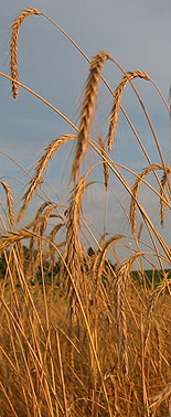 Paul's Grains rye field, July 2006