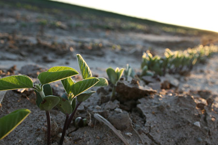 Soybeans in mid-June