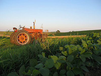 Soybeans and Farmall 400, mid-July